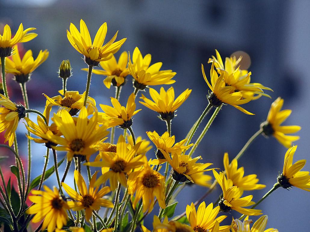 Topinambur Eco flori