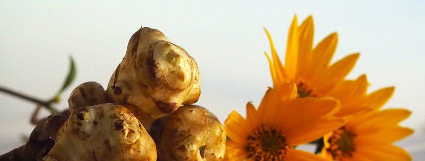 Topinambur Eco tuberculi și flori